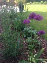 Allium 'Purple Sensation' - Ail d'ornement - Saint Grégoire