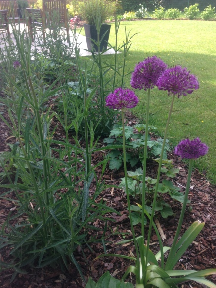 Allium 'Purple Sensation' - Ail d'ornement - Saint Grégoire