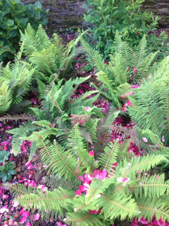 Polystichum setiferum 'plumosum densum' - Aspidie à cils raides - RENNES